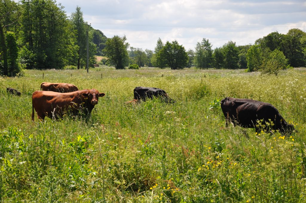 Cattle grazing at Little Thornage Meadows